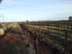Vines at Bogle