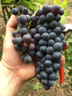 Texas harvest grape